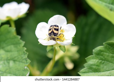Trichius rosaceus. Family: Scarabaeidae.  Beetle, similar in color to a bumblebee, eats pollen on a strawberry flower, macro. Mimicry. Front view. Symbiotic relationship