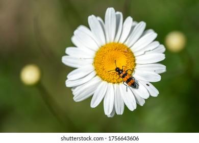Trichodes Apiarius on daisy flower macro