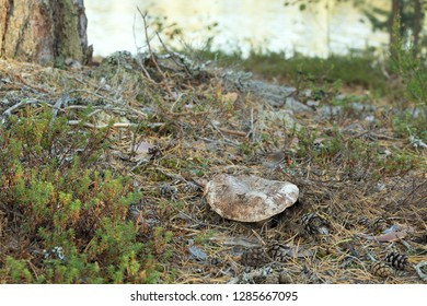 Tricholoma colossus growing in coniferous environment