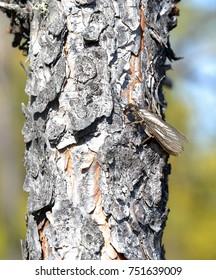 Trichoptera. (Caddisfly)