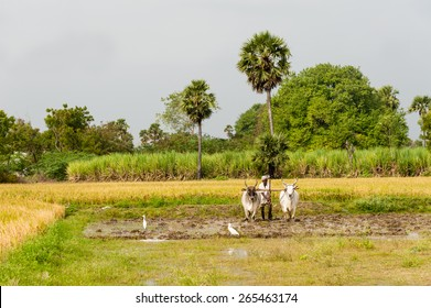 TRICHY, INDIA - JAN 13: A farmer ploughs his field with a pair of oxen in preparation for rice planting on January 13, 2014 inTrichy, Tamil Nadu, India.