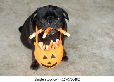 Trick or Treat.(Funny pug dog waiting to eat dog snack in halloween festivals.)