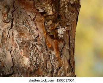 Trickles of resin streaming down tree bark, El Albir, Spain