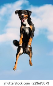 Tricolor Appenzeller sennenhund dog jimps high in the sky