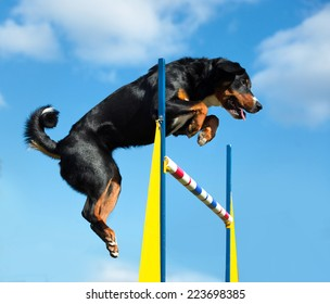 Tricolor Appenzeller sennenhunde dog jimp agility on the sky background