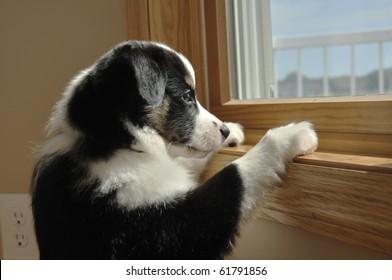 Tricolor Australian Shepherd (Aussie) Puppy Looking Out a Window