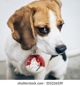 Tricolor beagle dog with christmas decoration on neck looking aside