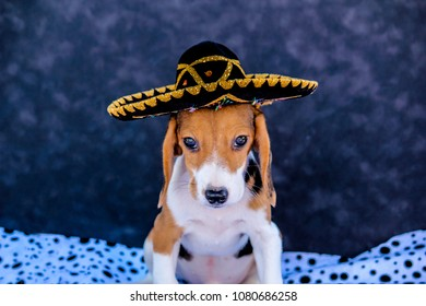 Tricolor Beagle Puppy Wearing and Black and Gold Sombrero