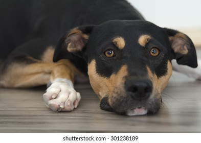 Tricolor boxer mix dog laying