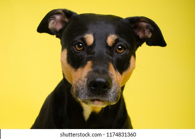 Tricolor boxer mix in studio on yellow background