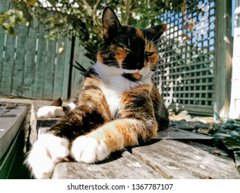 Tricolor cat close-up portrait in shadow
