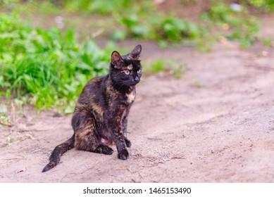 tri-color cat. cat erection. puberty of animals. health cat concept.