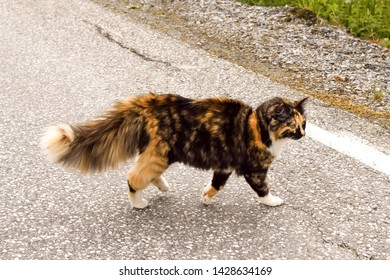 Tricolor cat with a fluffy tail walks on an asphalt road. Cat with a tortoiseshell color. Cat crosses the roadway.