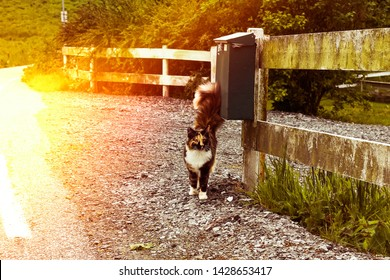 Tricolor cat with a fluffy tail walks on an asphalt road. Cat with a tortoiseshell color. Sun flare on the photo. Cat is worth about the mailbox.