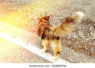 Tricolor cat with a fluffy tail walks on an asphalt road. Cat with a tortoiseshell color. Sun flare on the photo.