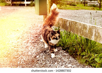 Tricolor cat with a fluffy tail walks on an asphalt road. Cat with a tortoiseshell color. Sun flare on the photo. Cat stands at the fence.
