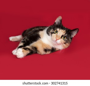 Tricolor cat lying on red background