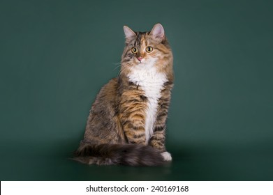 tricolor cat on an isolated background