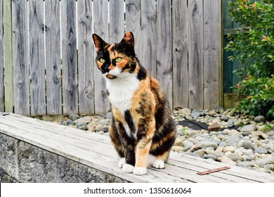 Tricolor cat sees target and prepares to jump