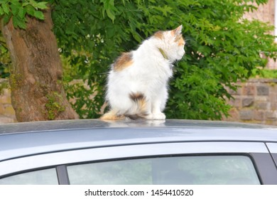 Tricolor domestic cat with green eyes sitting on the car roof. White cat lying on the automobile roof with green trees on background. Domestic kitty rest on the auto. Funny cat sitting on the car