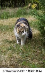 Tri-color fluffy cat