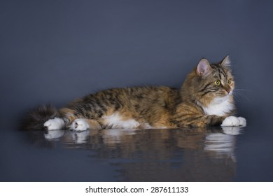 tricolor fluffy Siberian cat isolated on a gray background