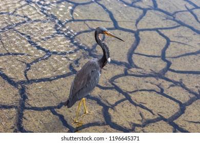 tricolor heron a.k.a. Egretta tricolor wading in florida swamp