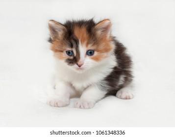 Tricolor little fluffy kitten sitting on white background