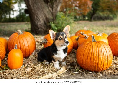 Tricolor Pembroke corgi with pumpkins during the fall harvest on a wisconsin farm