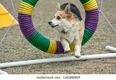 a tricolor pembroke welsh corgi jumping through the agility tire obstacle during an outdoor training session