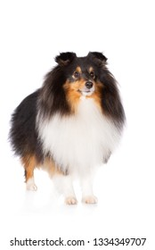 tricolor sheltie dog standing on white background