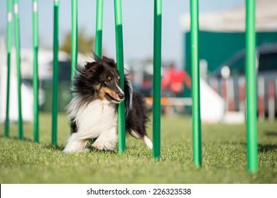 Tricolor Shetland sheepdog doing slalom in agility dog competition