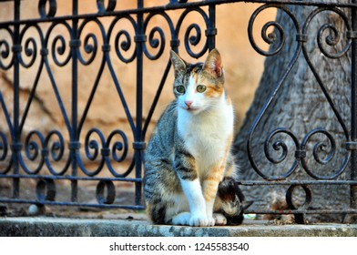 Tricolor Stray Cat from Rabat, Morocco