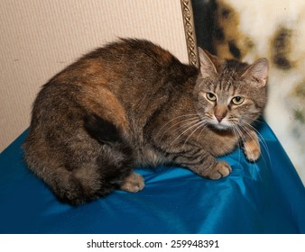 Tricolor striped cat lies on blue background