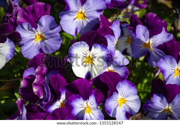 Tricolor Viola Flowers Growing Garden Annual Stock Photo Edit Now
