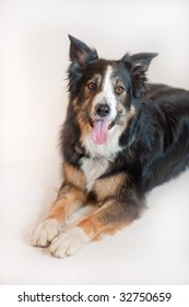 Tri-Colored Border Collie looking at camera