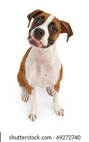 A tri-colored Boxer dog sitting down and looking up with her bottom teeth out