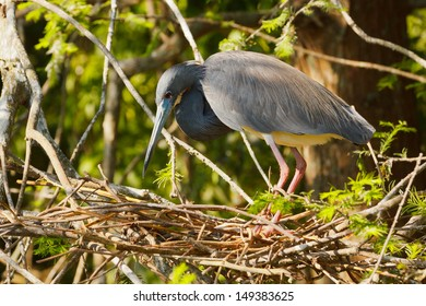 Tricolored Heron building a nest