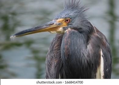 tricolored heron close-up standing posed with big beak