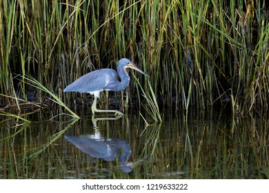 Tricolored Heron (Egretta tricolor) wading in front of swamp grass looking for food at Ft. Desoto Park near St. Pete Beach, Florida.