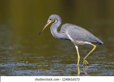 Tricolored Heron (Egretta tricolor) wading in a shallow lagoon - Florida