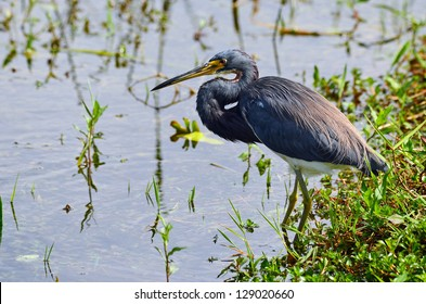 Tricolored Heron (Egretta tricolor) wading in Florida Everglades swamp searching for food.