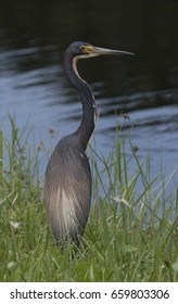Tricolored heron with long neck and yellow eye standing elegantly in green grass with wildflowers overlooking water.