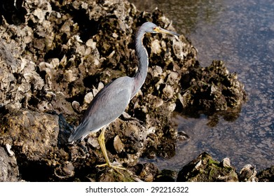 Tricolored Heron searching for food in the water on a cool, fall morning