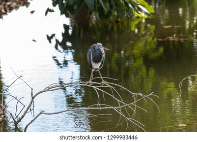 Tricolored heron wading bird Egretta tricolor perch on a branch in a marsh in Naples, Florida