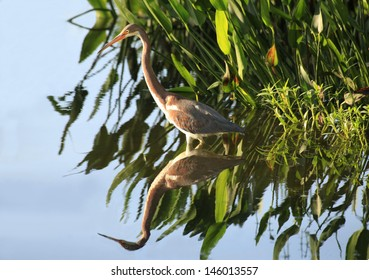 Tricolored Heron and Water Plants Reflected in the Lake in Early Morning Light
