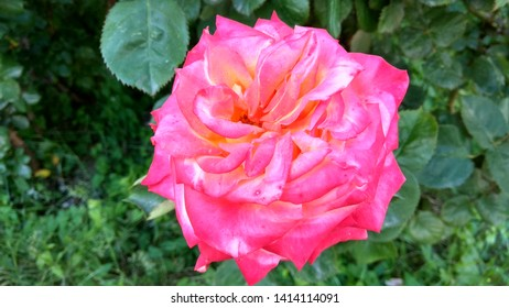 Tricolour, pink-white-yellow rose against greenery growing in a flowerbed. Sumptuous, large, pink-white rose a shrub growing in a rose bed. Large, bicolour, pink-white rose against dark  green foliage