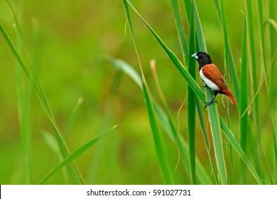 Tricoloured munia, Lonchura malacca, estrildid finch, native to India and Sri Lanka. Bird in the march water grass habitat. Wildlife scene from nature. Little bird sitting straw leave.