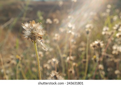 Tridax procumbens, wildflower