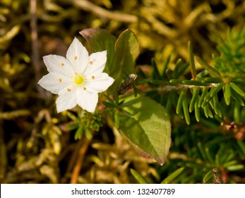 Trientalis europaea is a plant in the Primulaceae family